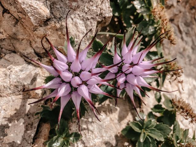 горный цветок рапонцоло